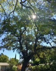 Davis landmark tree at 409 J St.