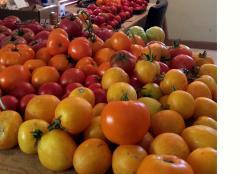 October Tomato Harvest