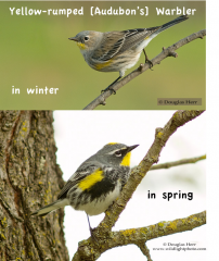 yellow-rumped warbler in courting clothes