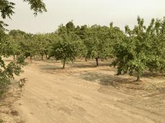 Orchard in Yolo County, August 2021