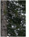 Redwood Tree Posterized
